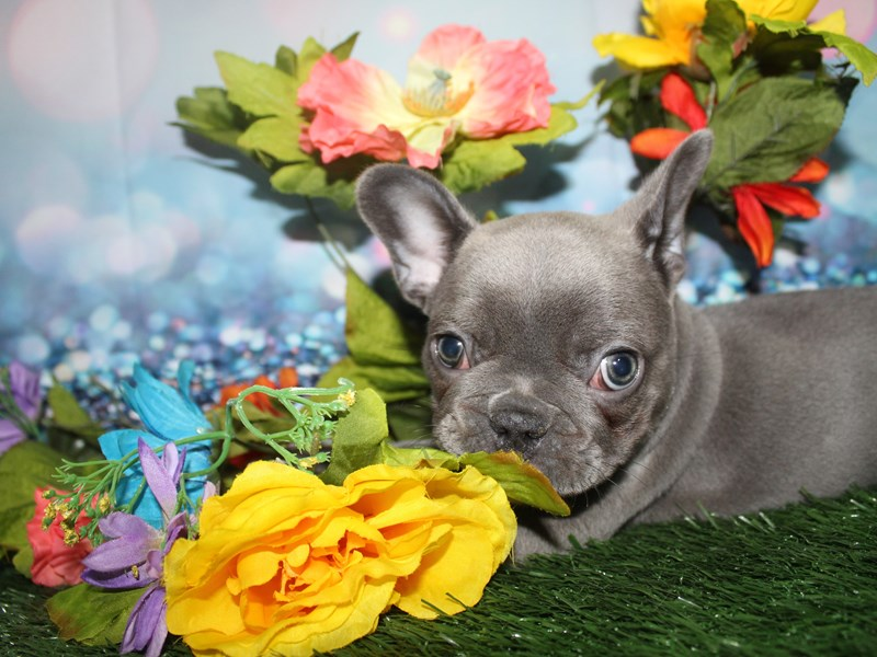 French Bulldog-Female-BLUE-2759148-Pet City Houston