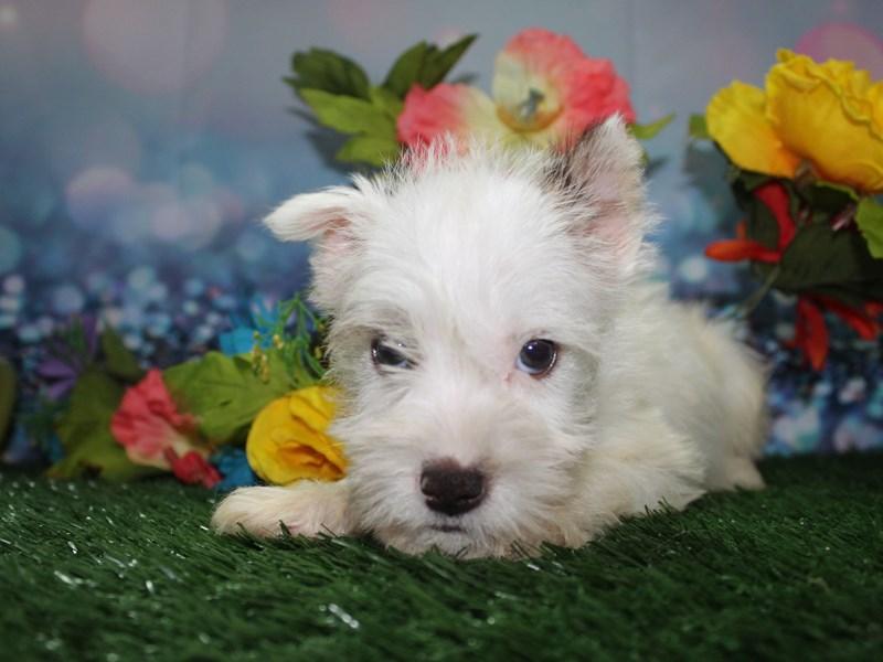 Miniature Schnauzer-Female-White-2758410-Pet City Houston