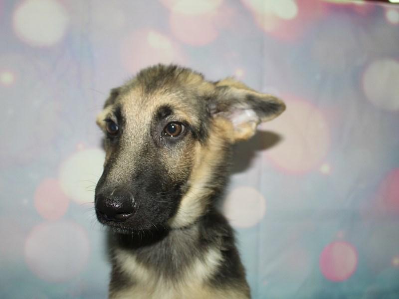 German Shepherd-Male-Blk/tan-2758454-Pet City Houston