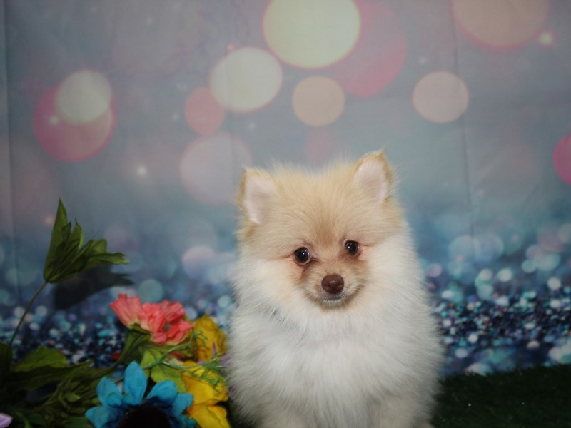 Pomeranian-Male-CREAM-2765733-Pet City Houston