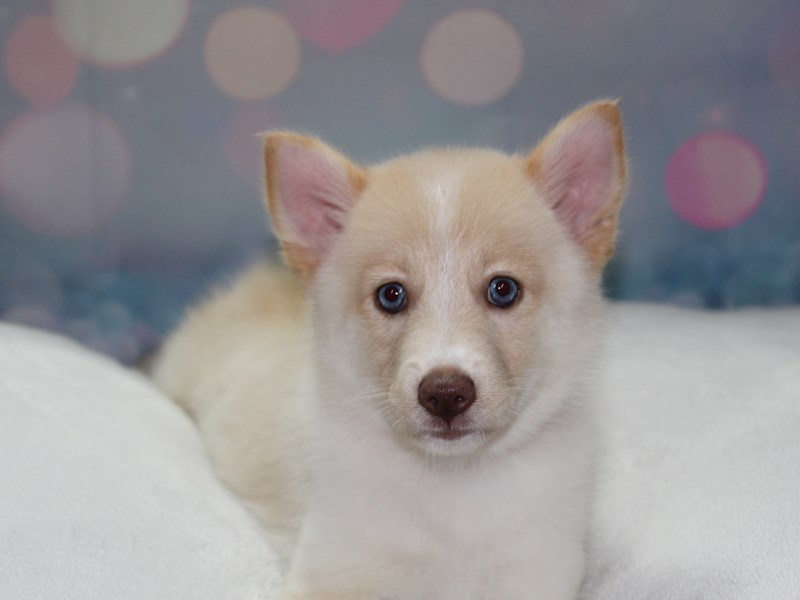 Pomsky-Female-CREAM & WHITE-2766652-Pet City Houston