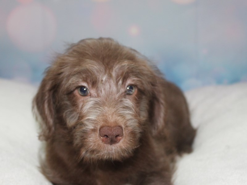 Labradoodle-Female-CHOCOLATE-2766674-Pet City Houston