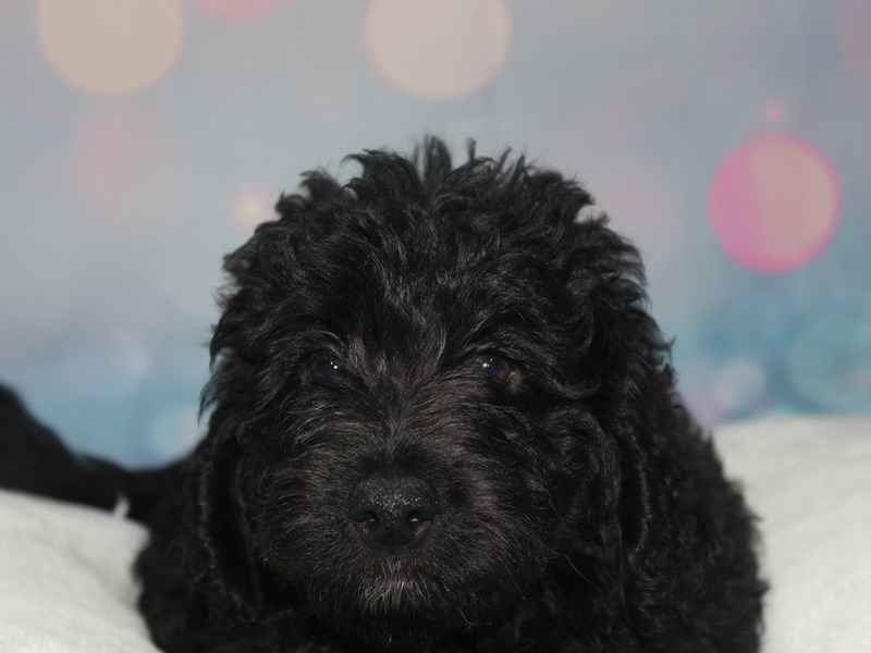 Labradoodle-Male-BLK-2766684-Pet City Houston