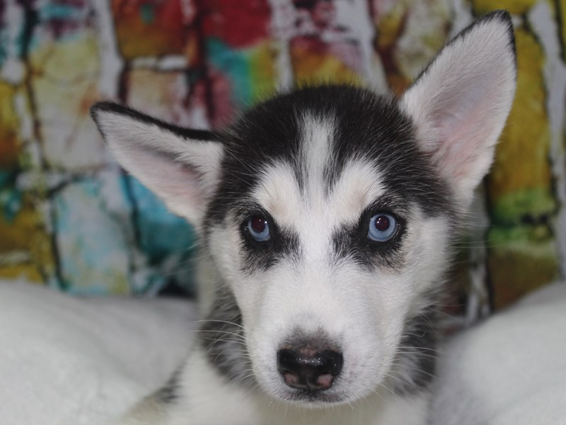 Siberian Husky-Female-BLK/WHT-2766713-Pet City Houston