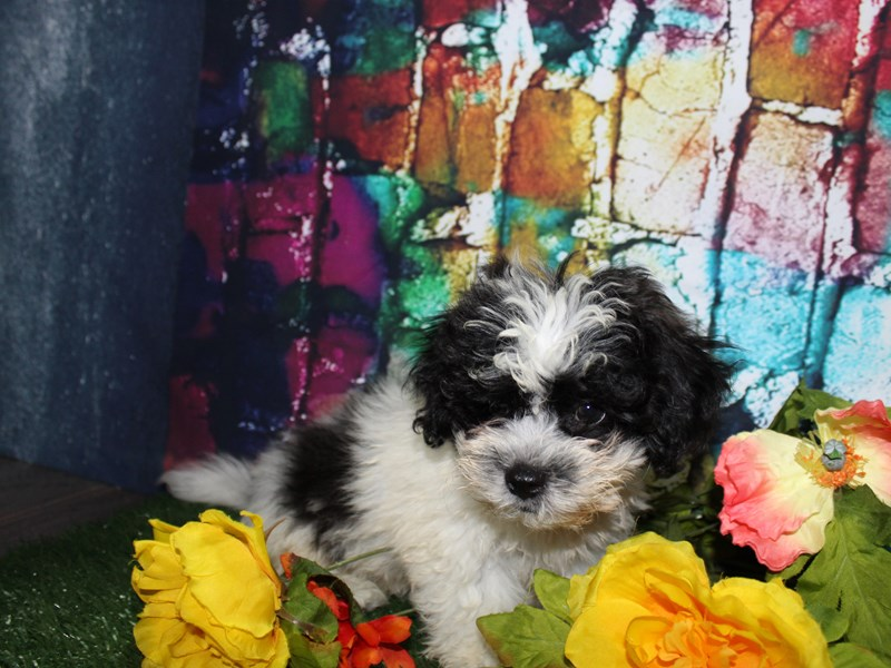 Lhasa Poo-Male-BLK & WHT PARTI-2773275-Pet City Houston