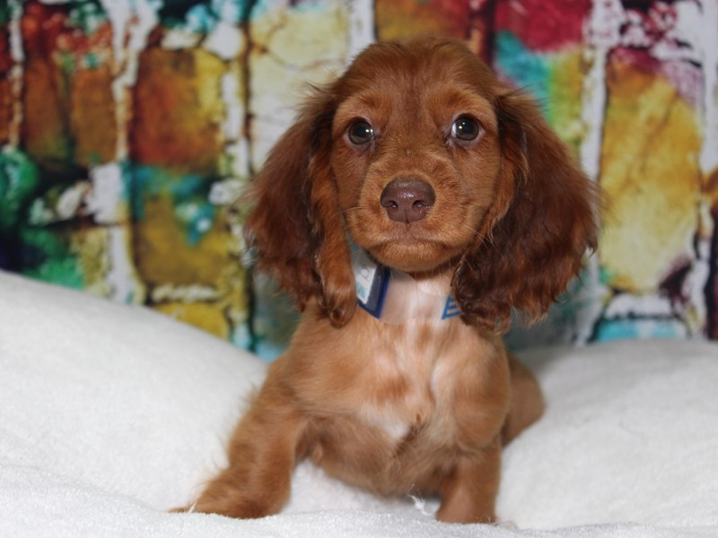 Dachshund-Male-RED-2774254-Pet City Houston
