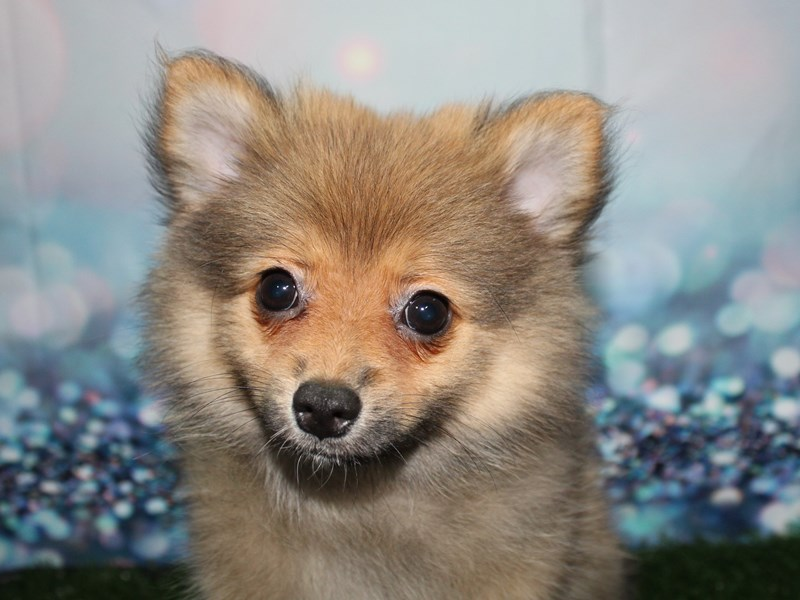 Pomeranian-Female-SABLE-2781438-Pet City Houston