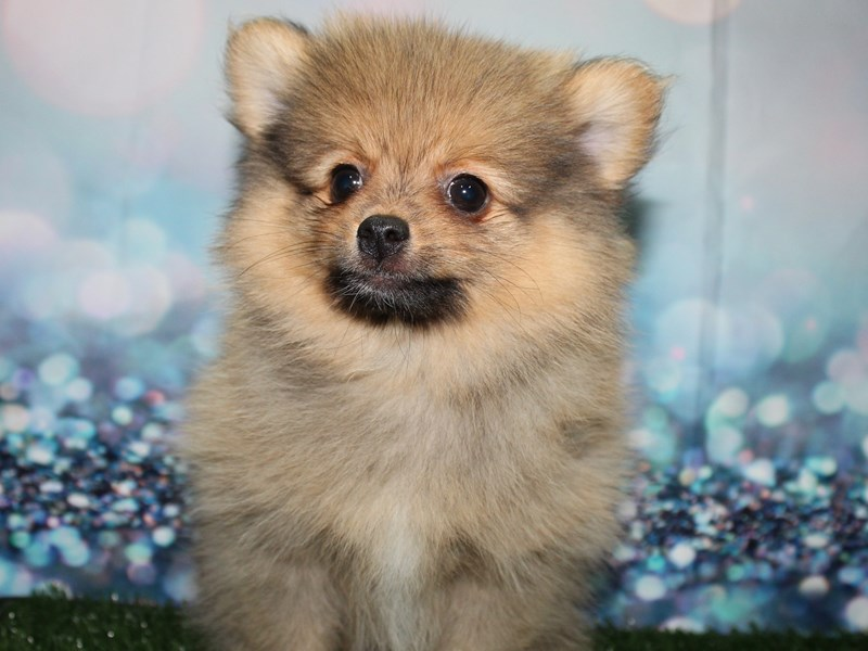 Pomeranian-Male-SABLE-2781435-Pet City Houston