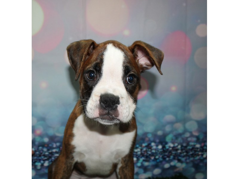 Boxer-Female-Brindle & White-2773467-Pet City Houston