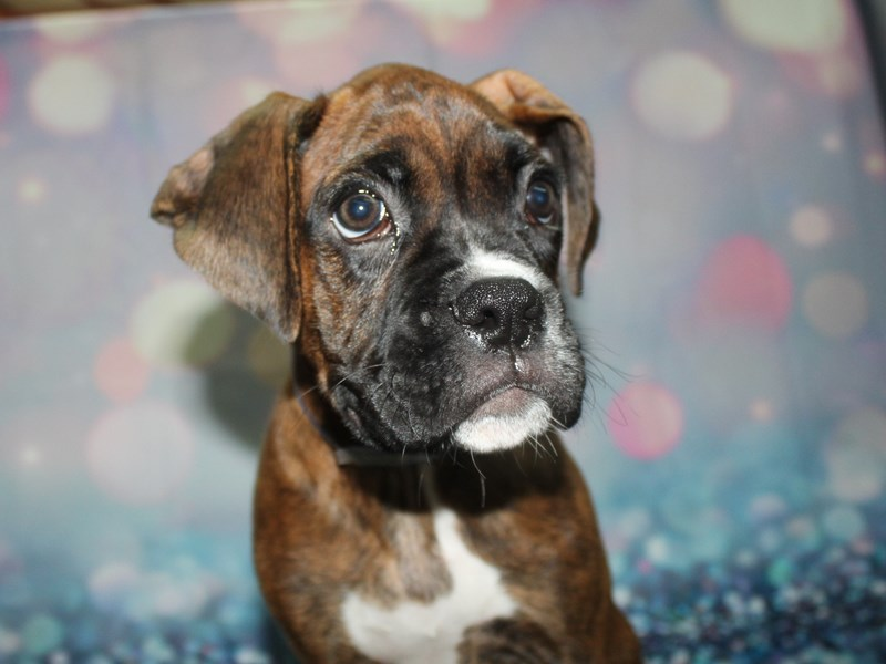 Boxer-Male-Brindle & White-2773498-Pet City Houston