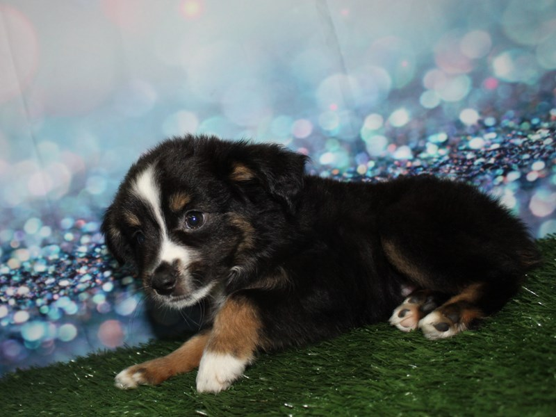 Miniature Australian Shepherd-Male-Black Tri-2770228-Pet City Houston