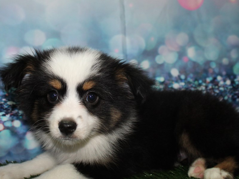 Miniature Australian Shepherd-Male-BLK TRI-2771962-Pet City Houston