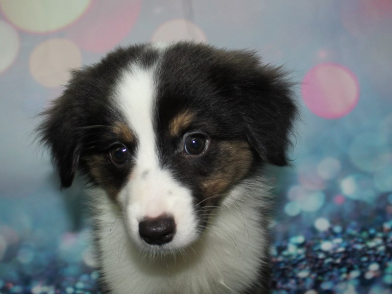 Miniature Australian Shepherd-Female-BLK TRI-2783488-Pet City Houston