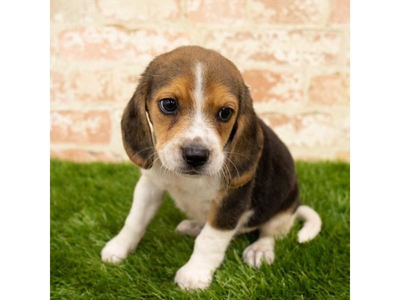 Beagle-Male-Black White / Tan-2785336-Pet City Houston