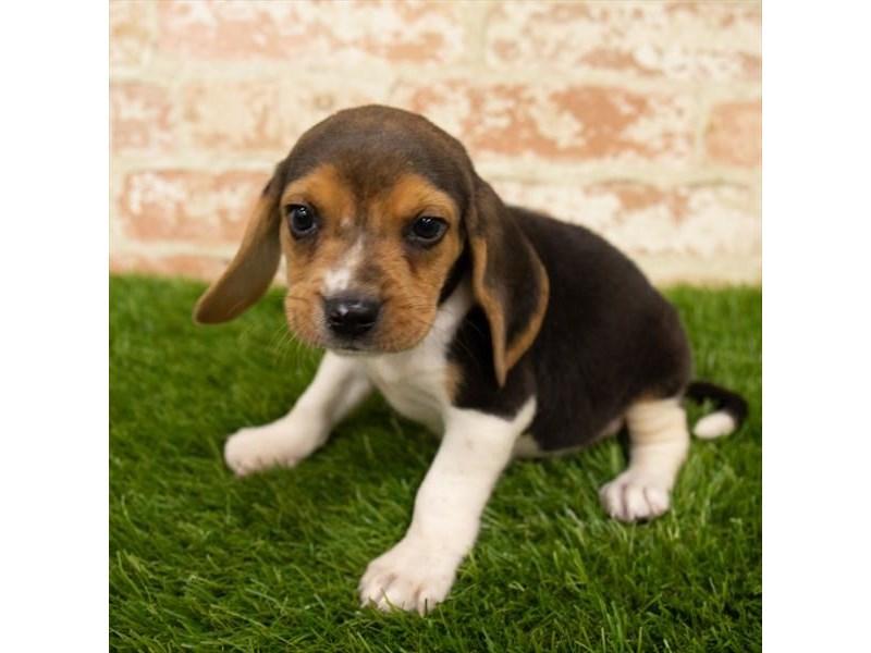Beagle-Male-Black White / Tan-2785337-Pet City Houston