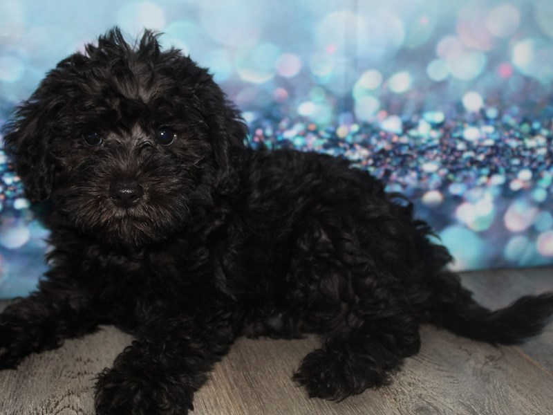 Schnoodle-Male-BLK-2788781-Pet City Houston