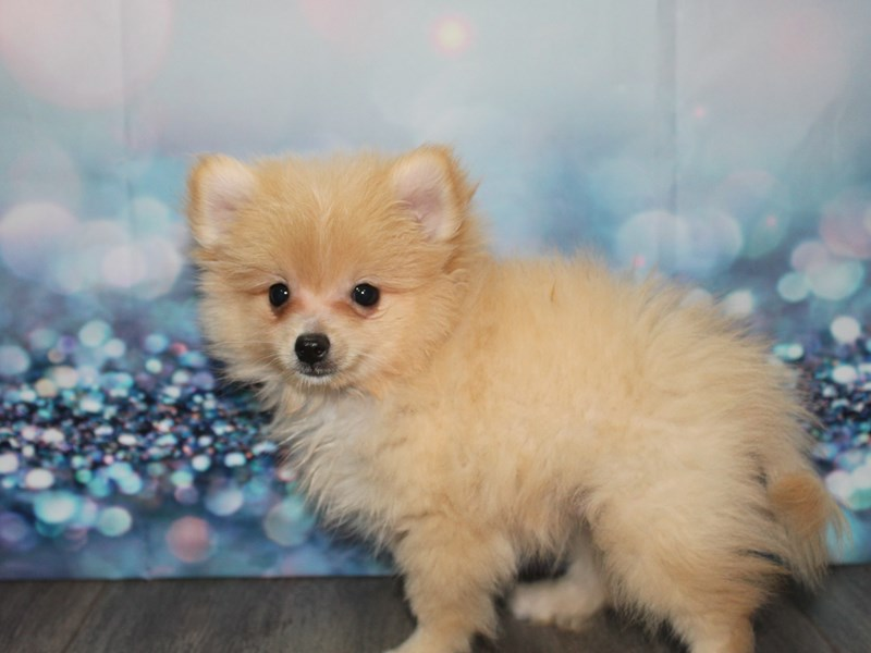 Pomeranian-Male-CREAM-2788734-Pet City Houston