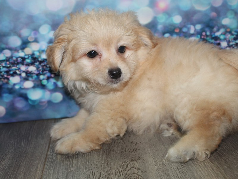 Pomapoo-Male-CREAM-2788797-Pet City Houston