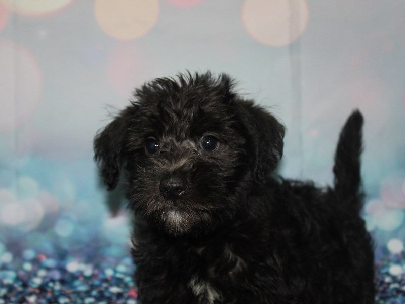 Schnoodle-Male-BLK WHT SPOT-2788771-Pet City Houston