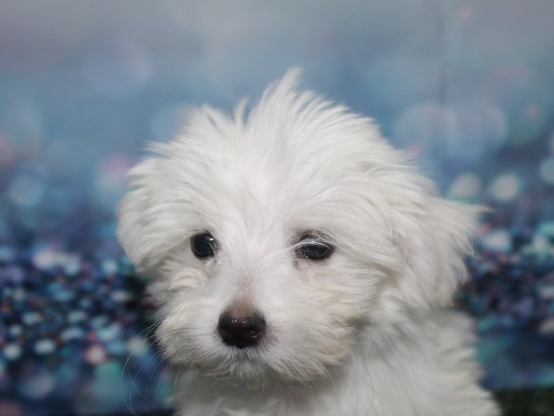 Maltese-Male-WHT-2789694-Pet City Houston