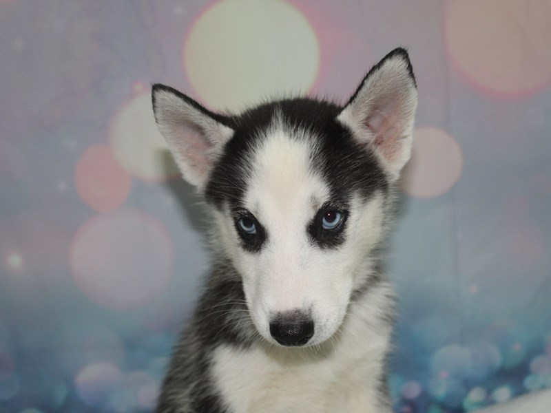 Siberian Husky-Female-BLK/ WHT-2758114-Pet City Houston