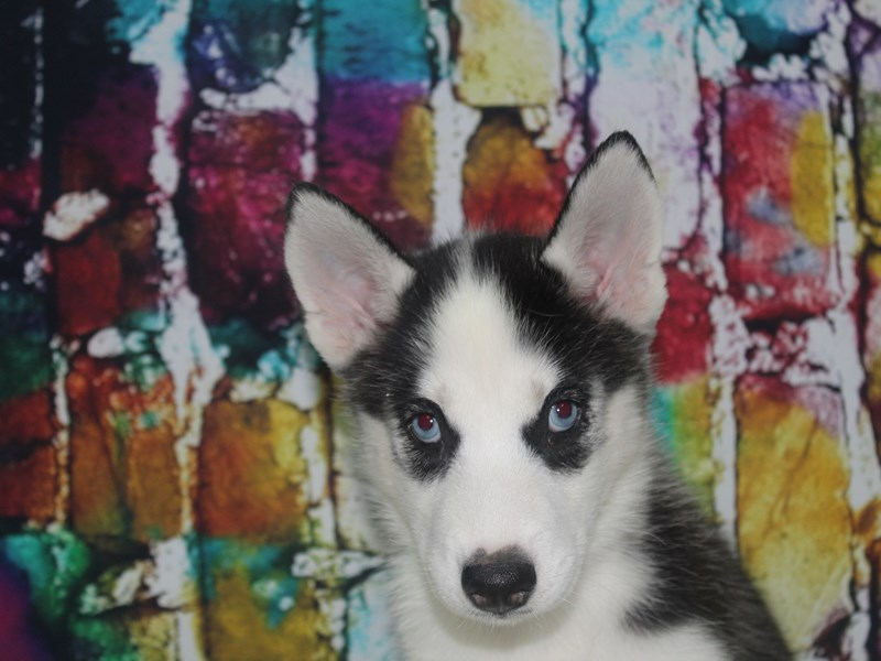 Siberian Husky-Female-BLK/WHT-2766709-Pet City Houston