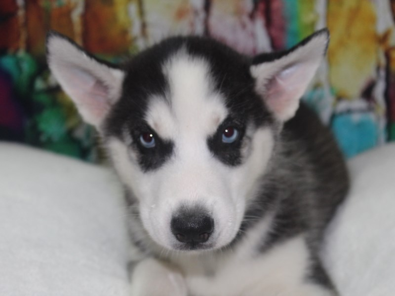 Siberian Husky-Female-BLK/WHT-2766712-Pet City Houston