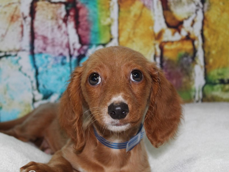 Dachshund-Male-FAWN-2774258-Pet City Houston