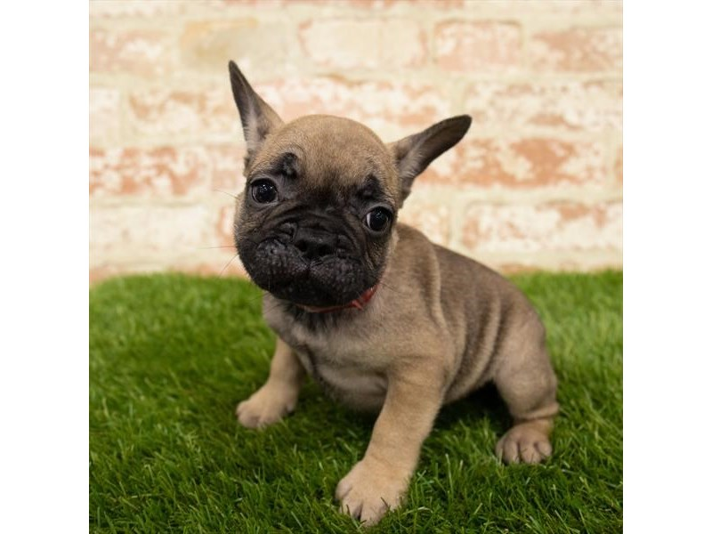 French Bulldog-Male-Fawn-2785330-Pet City Houston