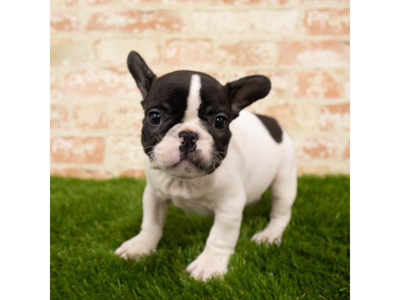 French Bulldog-Male-White-2785334-Pet City Houston