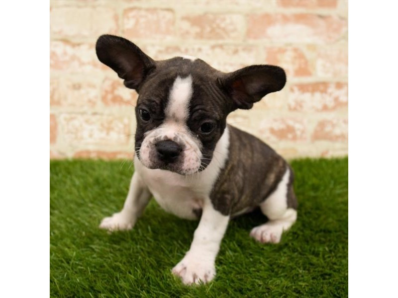 French Bulldog-Male-Brindle-2785339-Pet City Houston