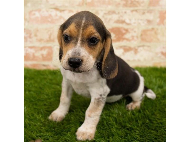 Beagle-Male-Black White / Tan-2785341-Pet City Houston