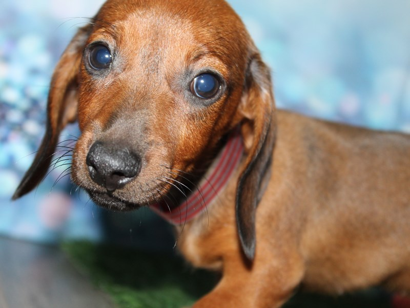 Dachshund-Female-Wild Boar-2788786-Pet City Houston