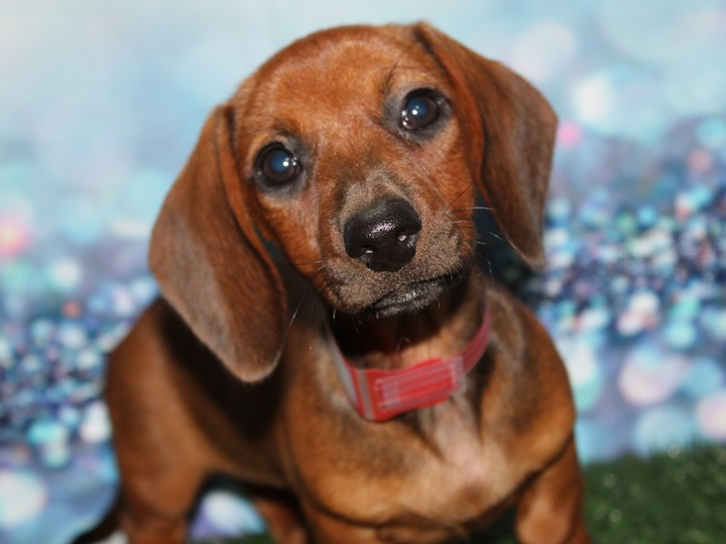Dachshund-Female-Wild Boar-2788787-Pet City Houston