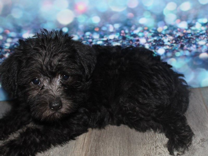 Schnoodle-Female-BLK-2788784-Pet City Houston