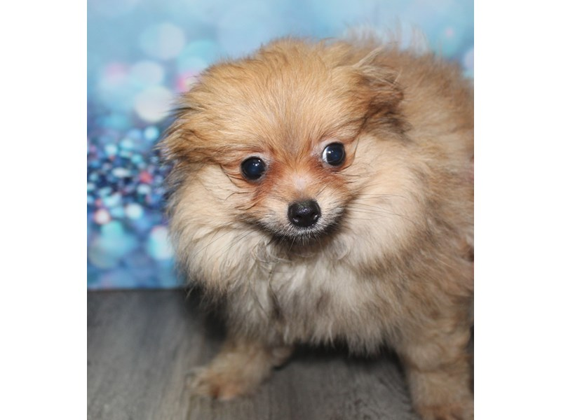 Pomeranian-Female-ORANGLE SABLE-2788715-Pet City Houston