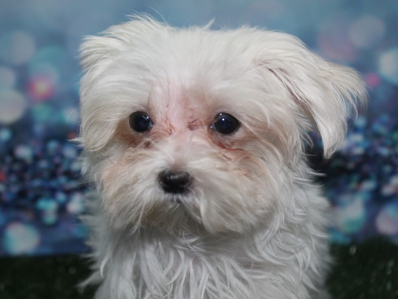 Maltese-Female-WHT-2789711-Pet City Houston