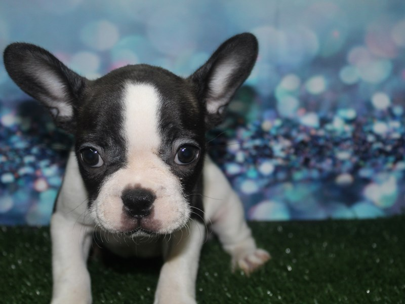 French Bulldog-Female-BLK/WHT-2789665-Pet City Houston
