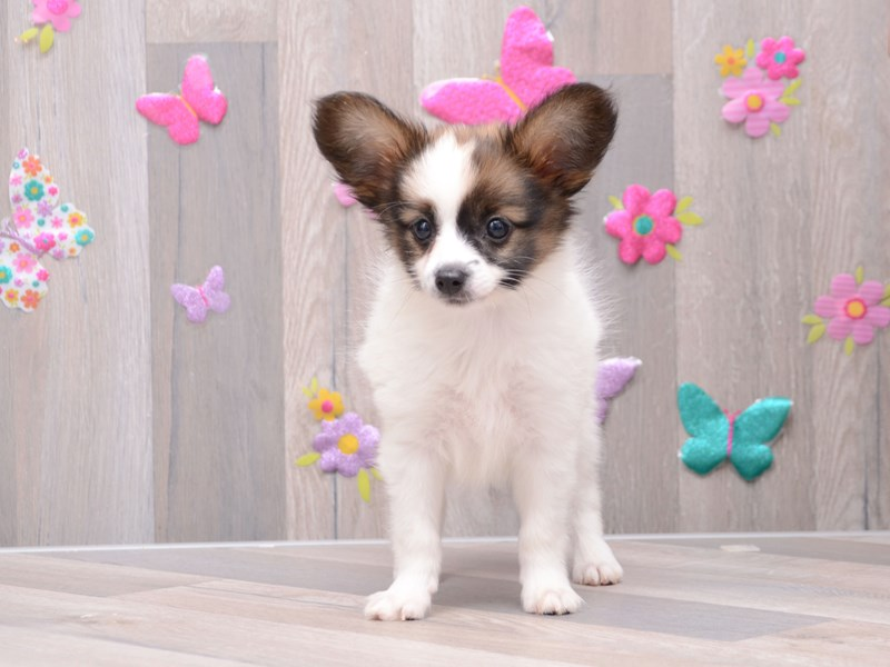 Papillon-Male-Sable / White-2792467-Pet City Houston