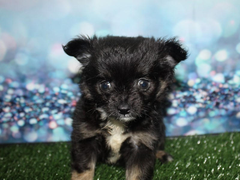 Chihuahua-Male-Tri-2796752-Pet City Houston