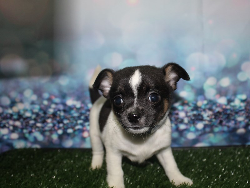 Chihuahua-Male-Blk/ Wht-2796763-Pet City Houston