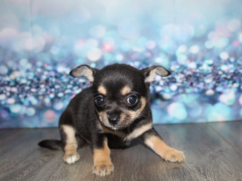 Chihuahua-Female-Blk/ Tan-2796765-Pet City Houston