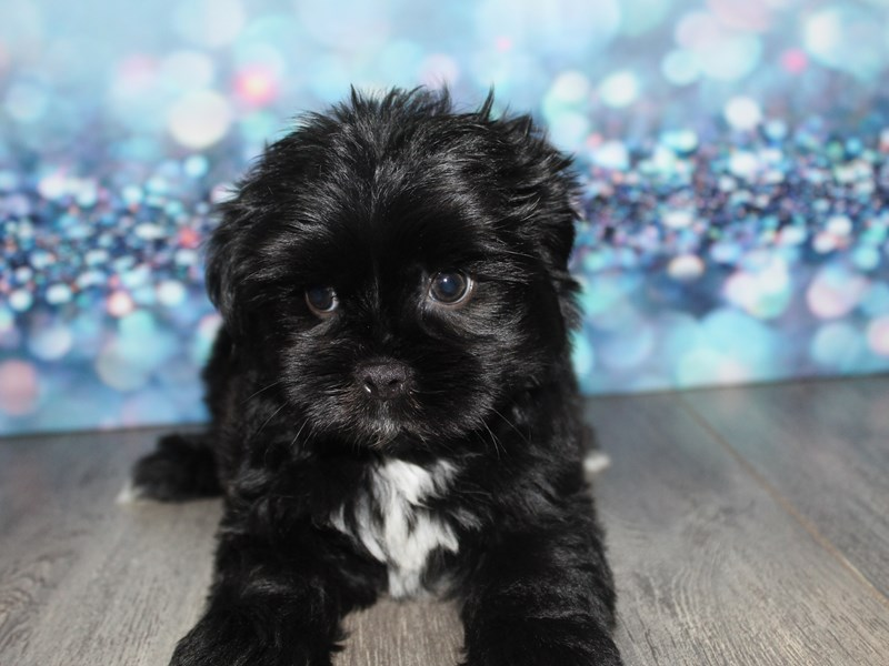 Shih Poo-Male-Black-2796698-Pet City Houston