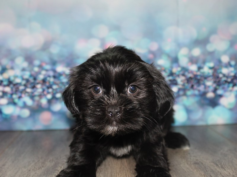 Shih Poo-Male-Black-2796695-Pet City Houston
