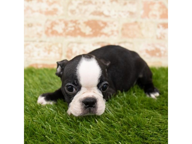 Boston Terrier-Male-Black / White-2798495-Pet City Houston