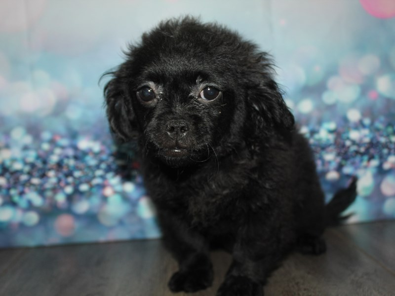 Pekapoo-Female-BLK-2796854-Pet City Houston