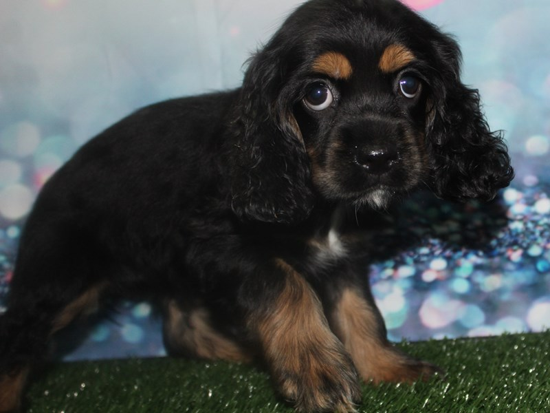 Cocker Spaniel-Female-Blk/ Tan-2803951-Pet City Houston