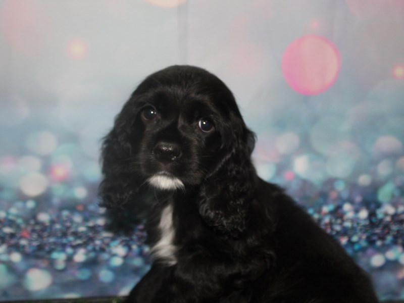 Cocker Spaniel-Female-Blk-2803959-Pet City Houston