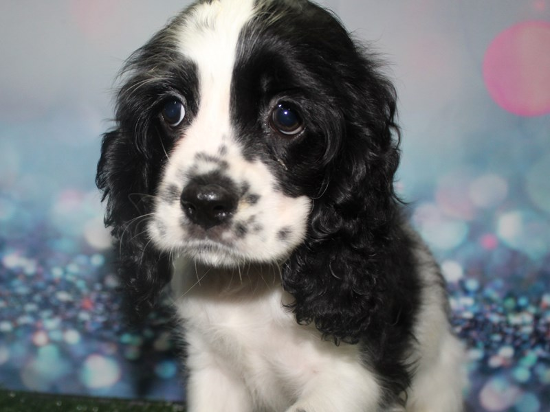 Cocker Spaniel-Male-Blk Parti-2803937-Pet City Houston
