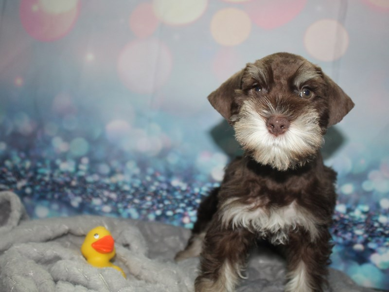 Miniature Schnauzer-Male-Chocolate/ Tan-2810554-Pet City Houston